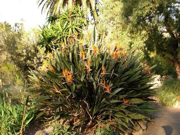une plante australienne a non elle vient d 39 afrique du